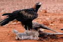 Australian wedge tailed eagle