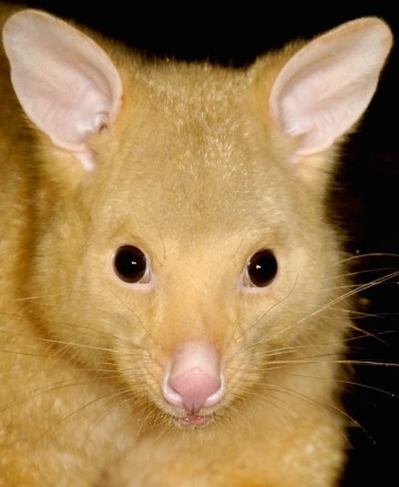 Common-Brushtail-Possum-Trichosurus-vulpecula-Golden-colour-variation2